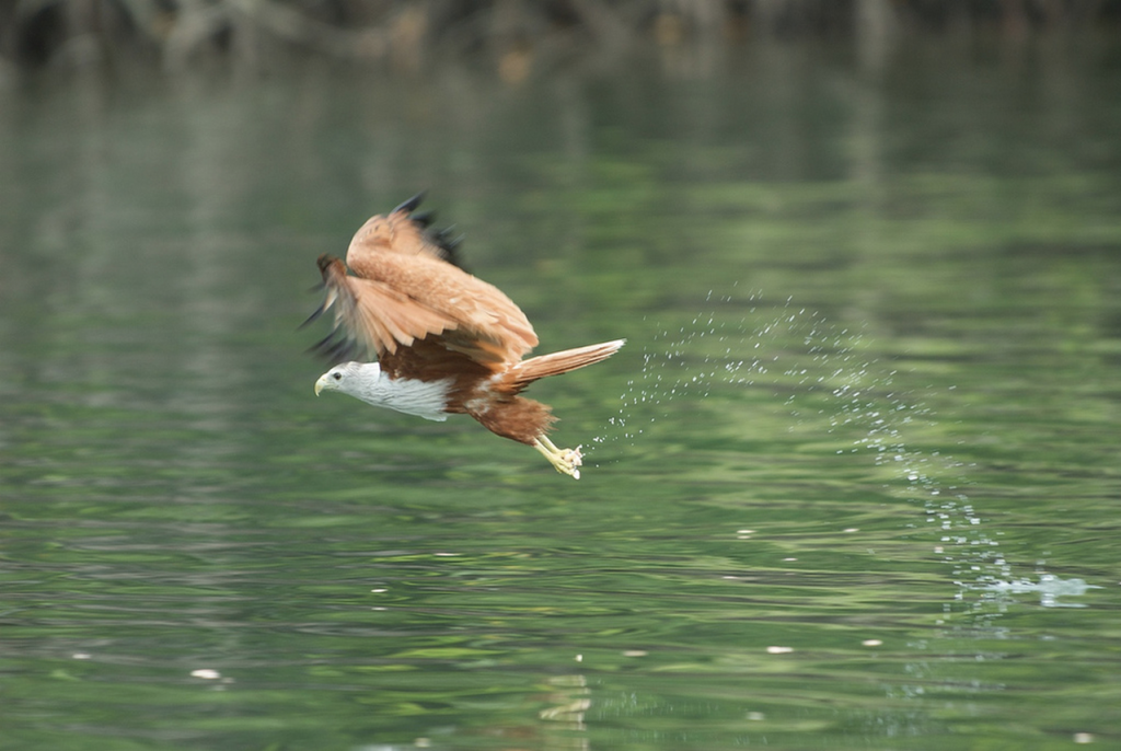 An eagle grasping a prey from water - Photo Peter Groneman
